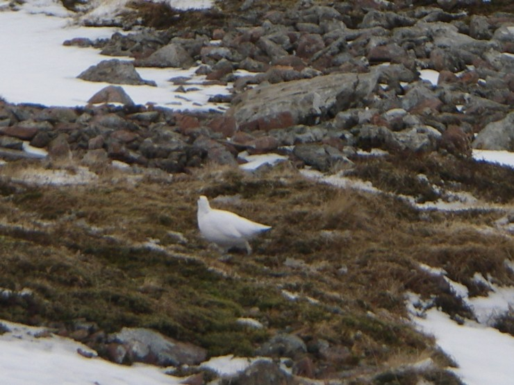 Ptarmigan on N slopes of Stob Coire Raineach