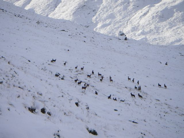 Deer browsing low down on the North aspect of Stob Coire Raineach