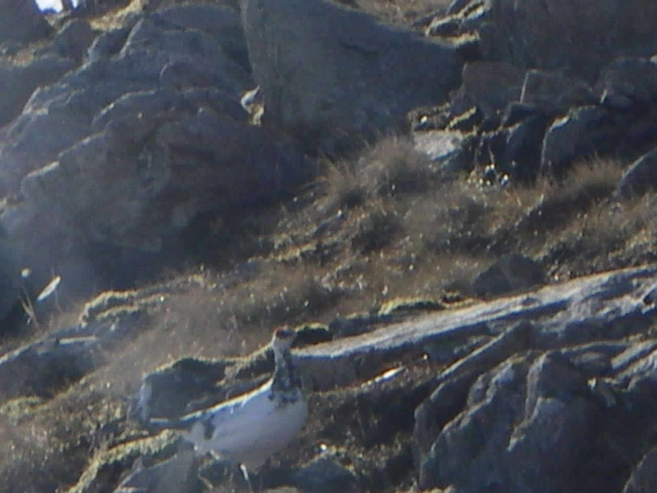 That friendly (and slightly disorientated) ptarmigan